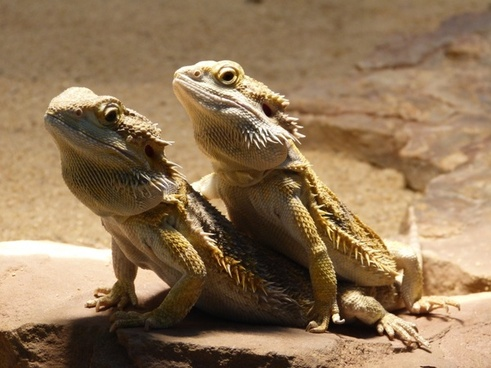 reptile bearded dragon pogona vitticeps