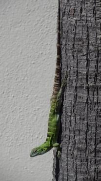 reptile lizard mexico