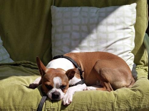 resting dog animal