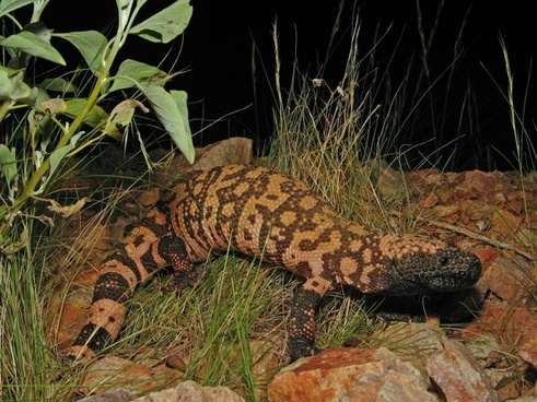 reticulate gila monster animal wildlife