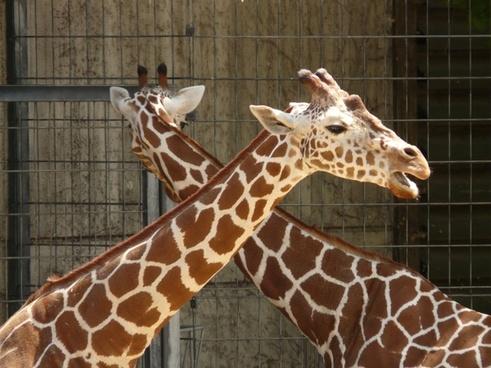 reticulated giraffe animal large