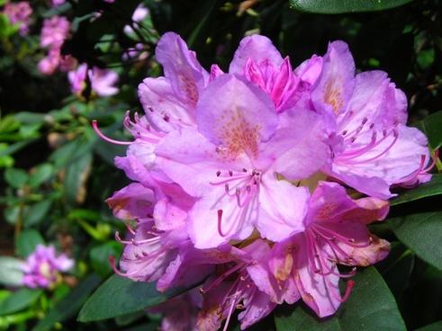 rhododendron flower june purple