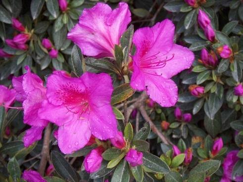 rhododendron flower pink
