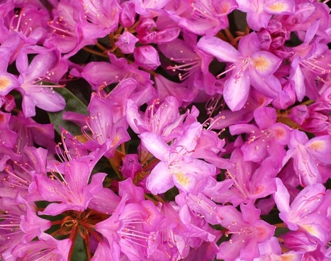 rhododendron flowers background