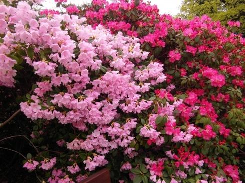 rhododendron japanese garden flowers