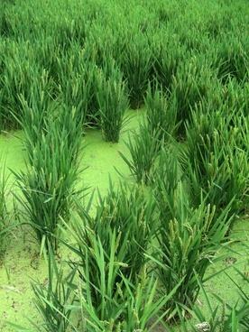 rice rice field spain