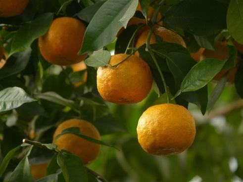rind fruits bitter oranges