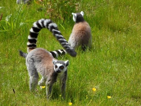 ring tailed lemur prosimians lemurs