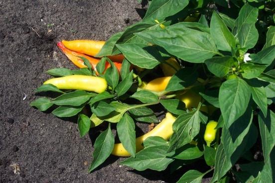 ripe banana peppers