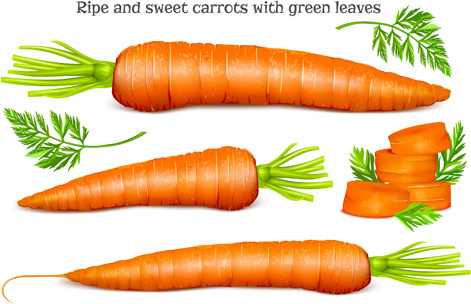 ripe carrots with green leaves vector