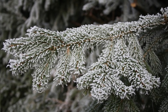 ripe winter hoarfrost