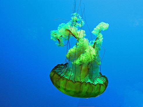 ripleys aquarium greenjellyfish