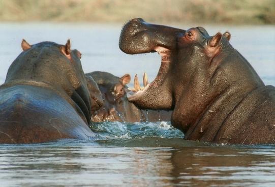 river horse hippopotamus hippo