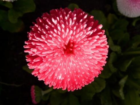 rob roy red daisy daisy