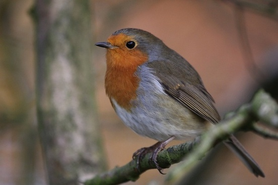 robin bird nature