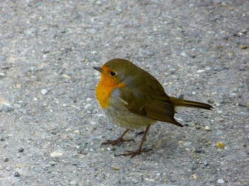 robin bird pets