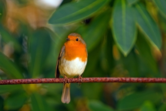 robin bird red robin