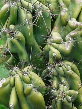 rock cactus cereus peruvianus monstrosus cereus