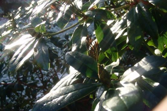 rododendron plant bush