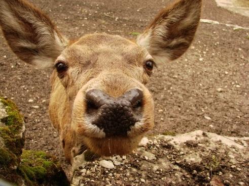 roe deer close nose