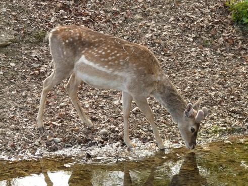 roe deer fawn capreolus capreolus