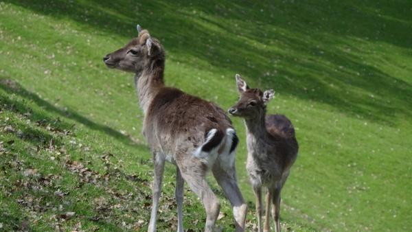 roe deer forest antler