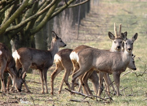 roe deer hunting spring