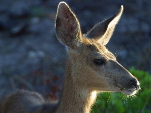 roe deer wild head