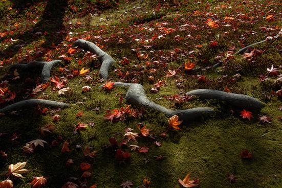 rokuon ji deer garden temple kyoto autumn leaves japan