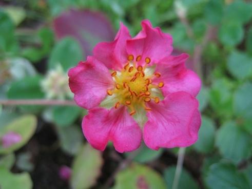 ros simple pink