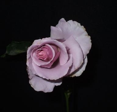 ros sterling rose
