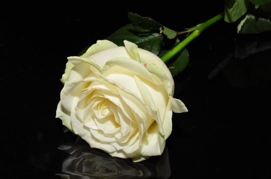ros white flower