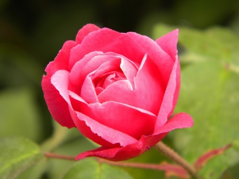 rosa button flower