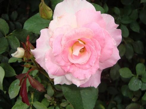 rosa flower pink