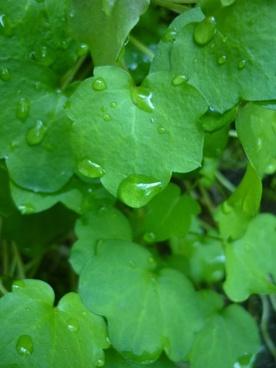 rosa plants droplet of dew