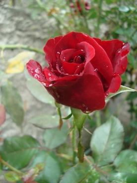 rosa red spray