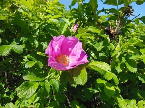 rosa rugosa flowers shrub