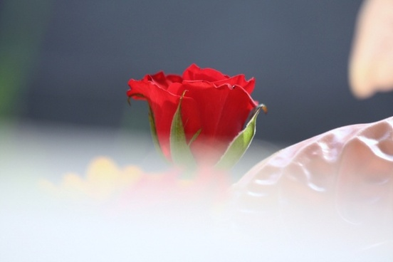 Rose flowers good evening free stock photos download (71,871