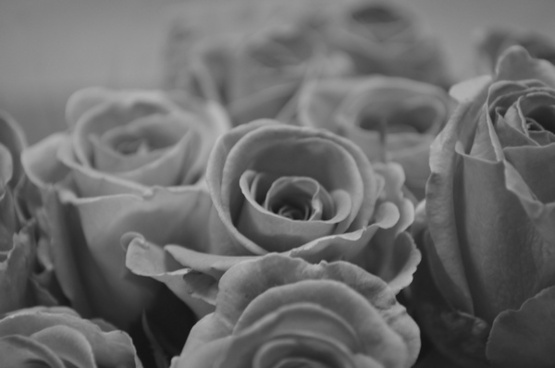 rose black and white