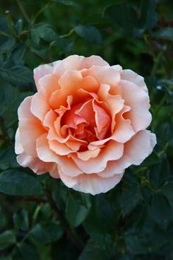 rose bloom flower