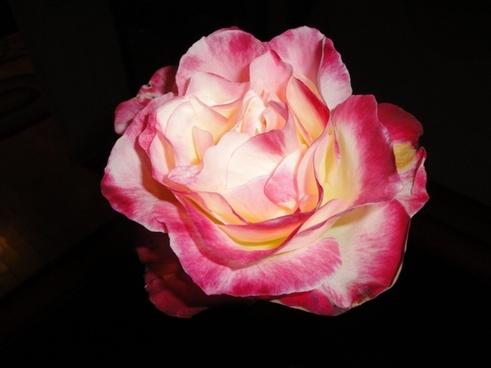 rose bloom houseplant