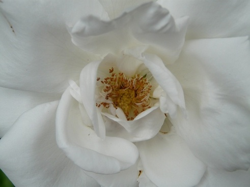 rose bloom rose white