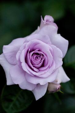 rose blue bajou