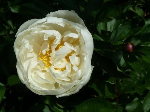 rose close-up flower