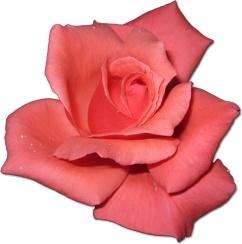 Rose Coral