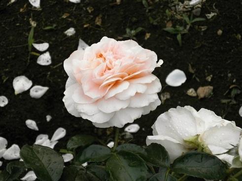 rose cream color petal
