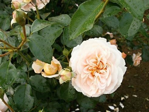rose cream color rose garden