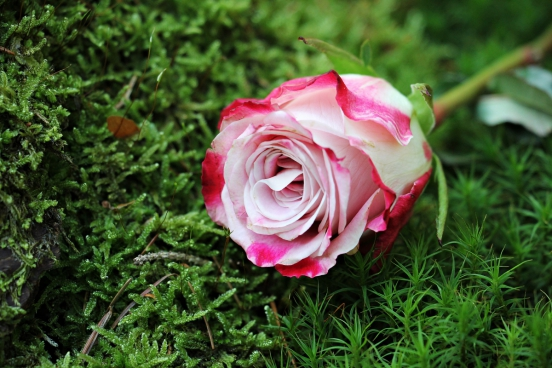closeup of beautiful rose on grass