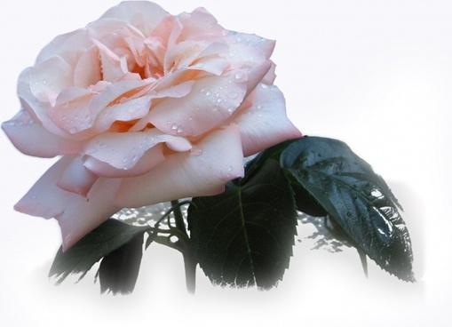 rose flower beautiful