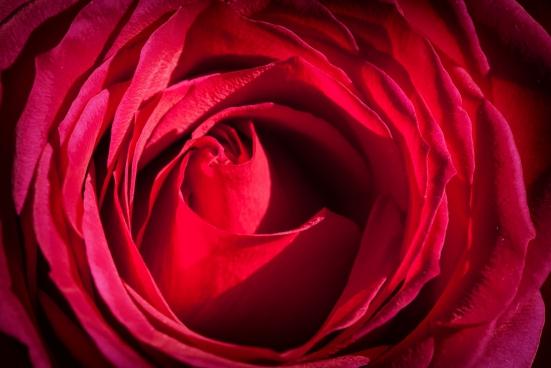 rose flower details